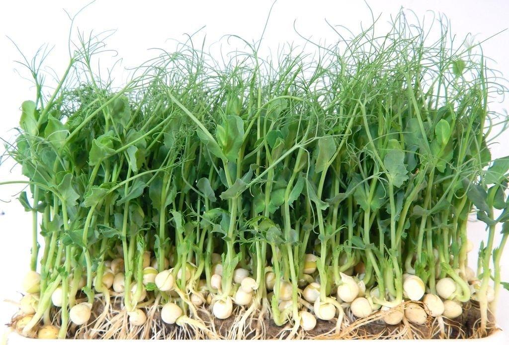 Микрозелень Гороха 60 г. стакан 0,4